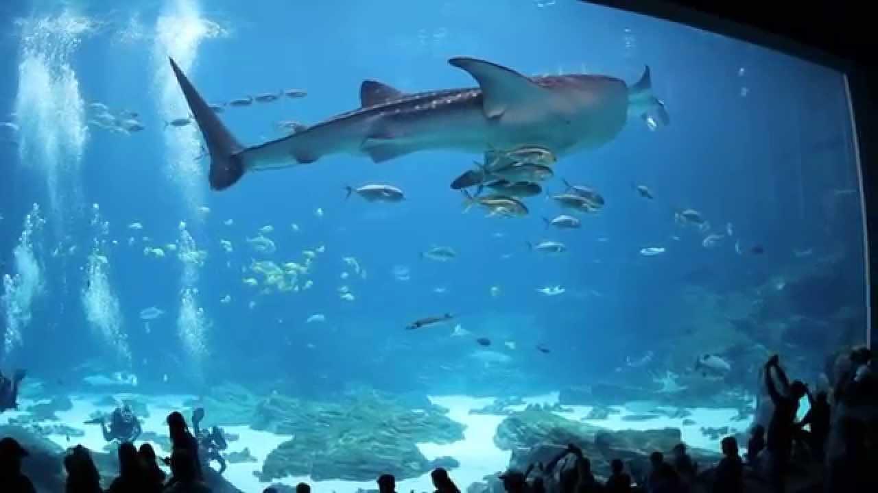 Whale shark at Georgia Aquarium - YouTube