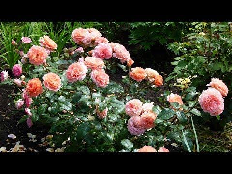 Шикарные клумбы с розами.  Зимнее укрытие роз.