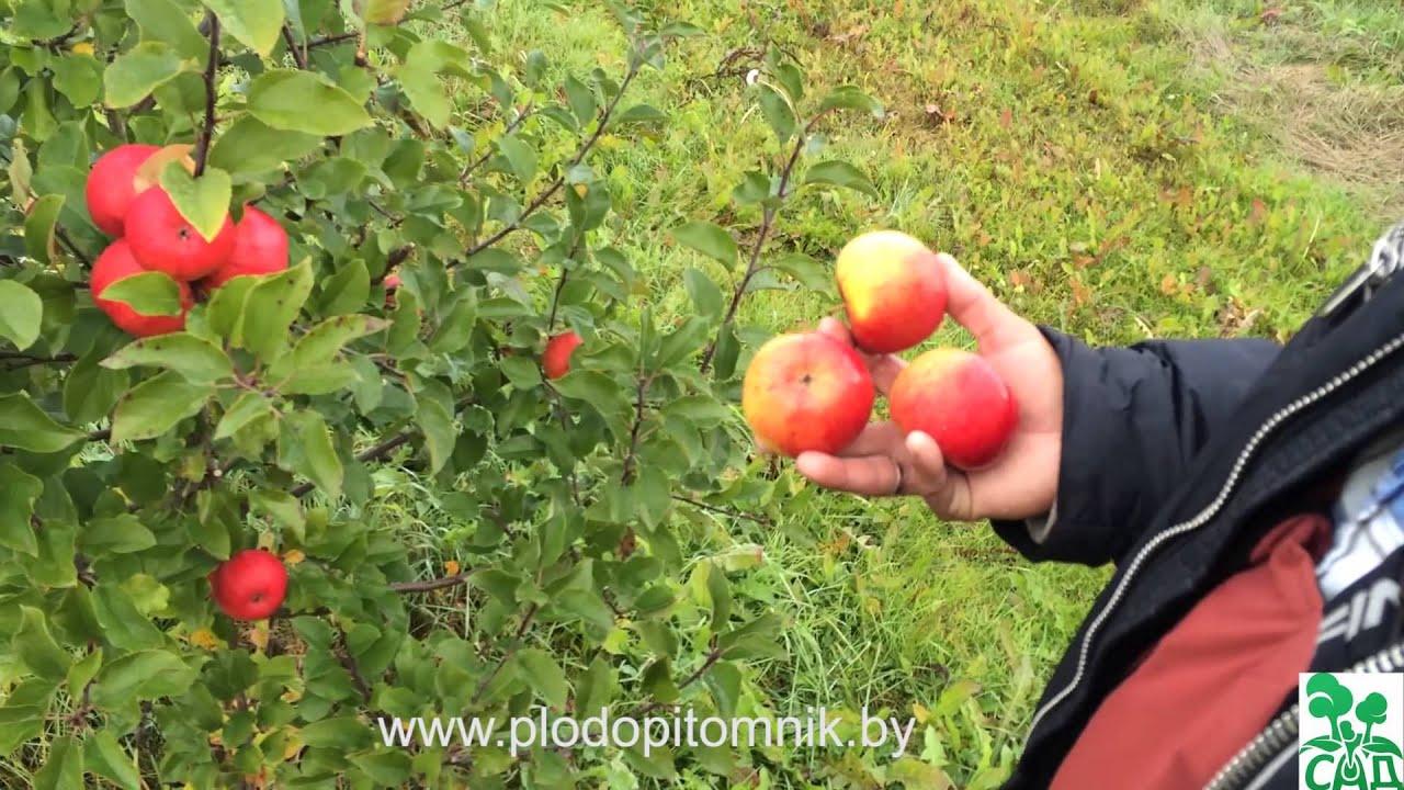 фото яблони сорта