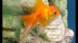 Аквариум - Аквариумные рыбки - Золотые рыбки