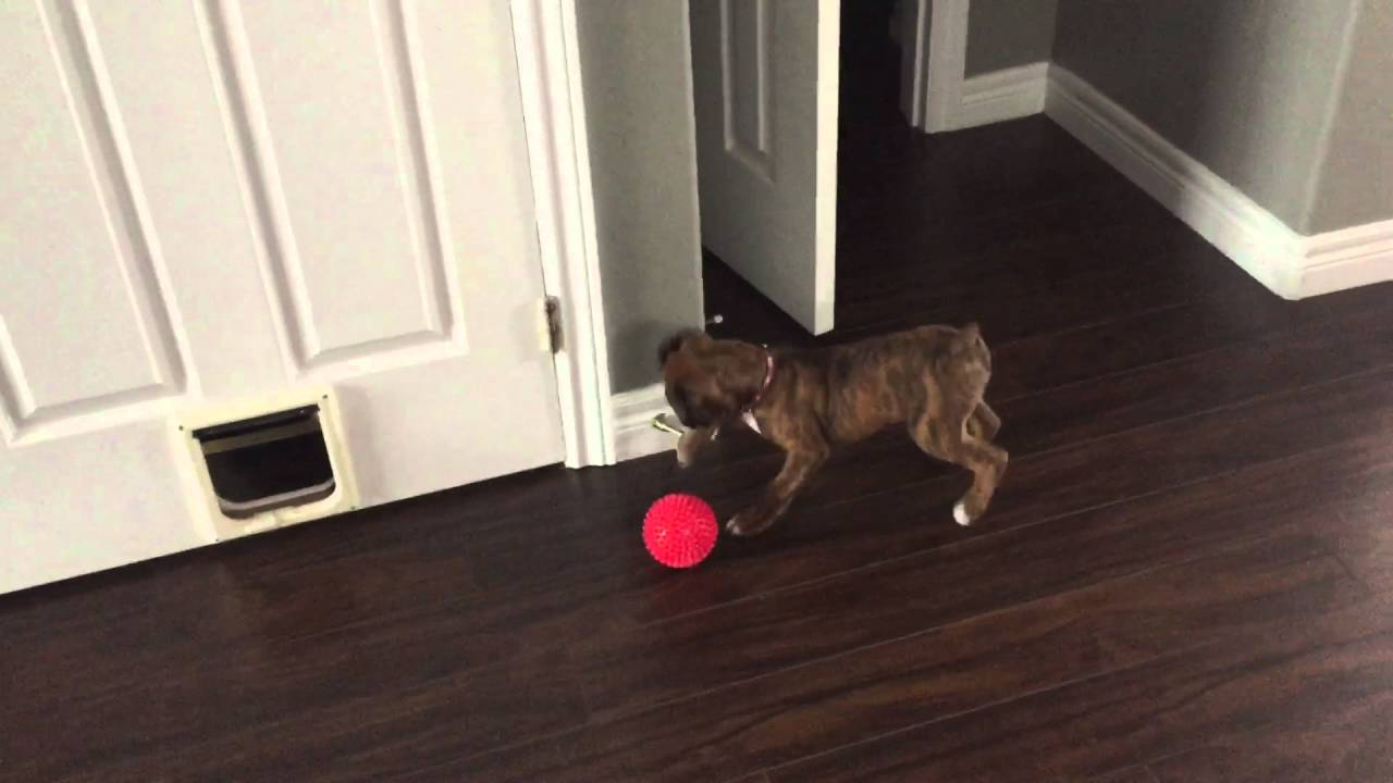 Cute Boxer Puppy Playing With The Door Stop Youtube