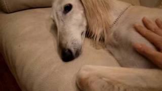 保護犬サルーキのサラちゃん 寝起きがとても悪いです。夜、ケージの中で...