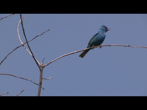 Indigo Buntings: Songbirds at the Edge of the Woods--NARRATED