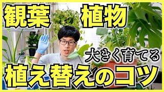 観葉植物を大きく育てたい人は大きな鉢に植え替えよう!移植のコツ【サボテンと多肉植物も】