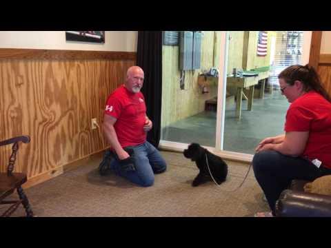 Koko 9 Wks Giant Schnauzer Puppy In Training W/Protection Dog Sales