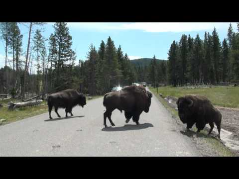 Buffalo Fight - Yellowstone
