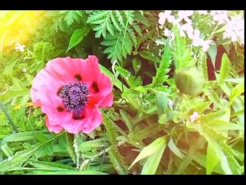 How to grow poppy flowers from seed youtube how to grow poppy flowers from seed mightylinksfo