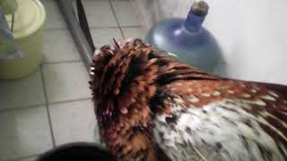 Как приготовить фазана.