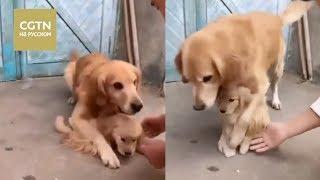 Четырехлетний золотистый ретривер не отдаёт своего щенка новым хозяевам [Age0+]