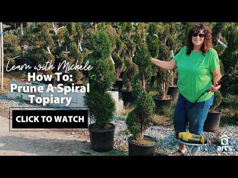 Spiral Dwarf Alberta Spruce - A Unique Evergreen Tree