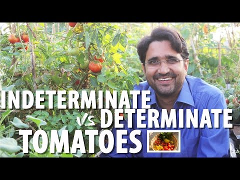 Determinate vs Indeterminate Tomatoes || Growing Tomato Series Part 1 of 4