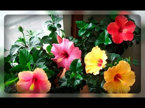 Гибискус - китайская роза, как заставить цветок цвести