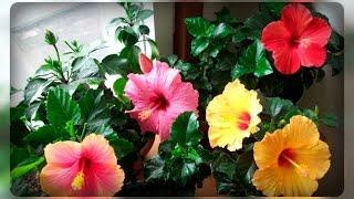 видео Почему не цветет комнатная роза: причины, как заставить розу цвести