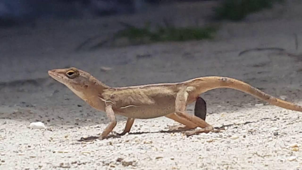 Gecko poop and drag!