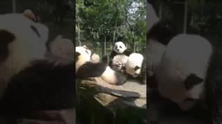 Video Giant Pandas Yu Bao, Yu Bei and Liang Yue download MP3, 3GP, MP4, WEBM, AVI, FLV November 2017
