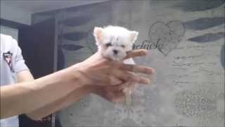 Micro Teacup Maltese Boy ~ Baby Bebe ~