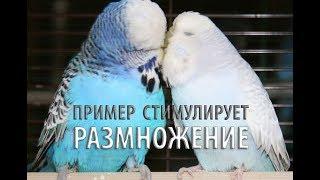 💕 🐣 Стимулируем инстинкт размножения у домашних волнистых попугаев Let`s Nest 1