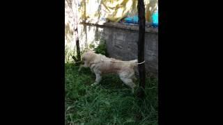 pitbull-golden