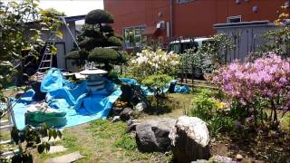 キャラボクの刈り込み  作業前と後 加須、幸手、古河の植木屋