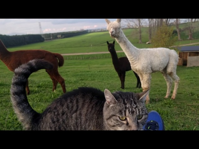 Alpaca v Cat