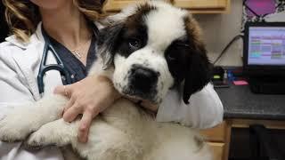 Surgery Prep & Dental Extractions | Veterinary Vlog#20