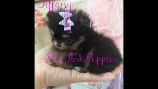 World's Tiniest Extra Micro Teacup Pomeranian Puppy For Sale