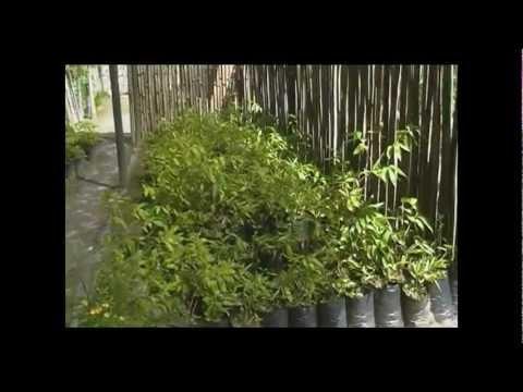 Jardin de Bambu - Guadua y otras plantas