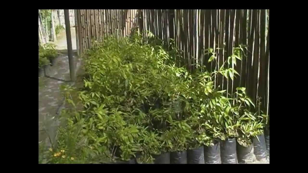Jardin de bambu guadua y otras plantas youtube - Plantas para estanques de jardin ...