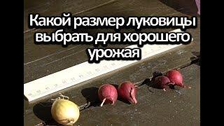 Посадка лука под зиму. Если правильно подобран размер луковицы  хороший урожай.