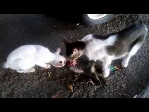 Cat 7 Cable >> Cannibal cat - YouTube
