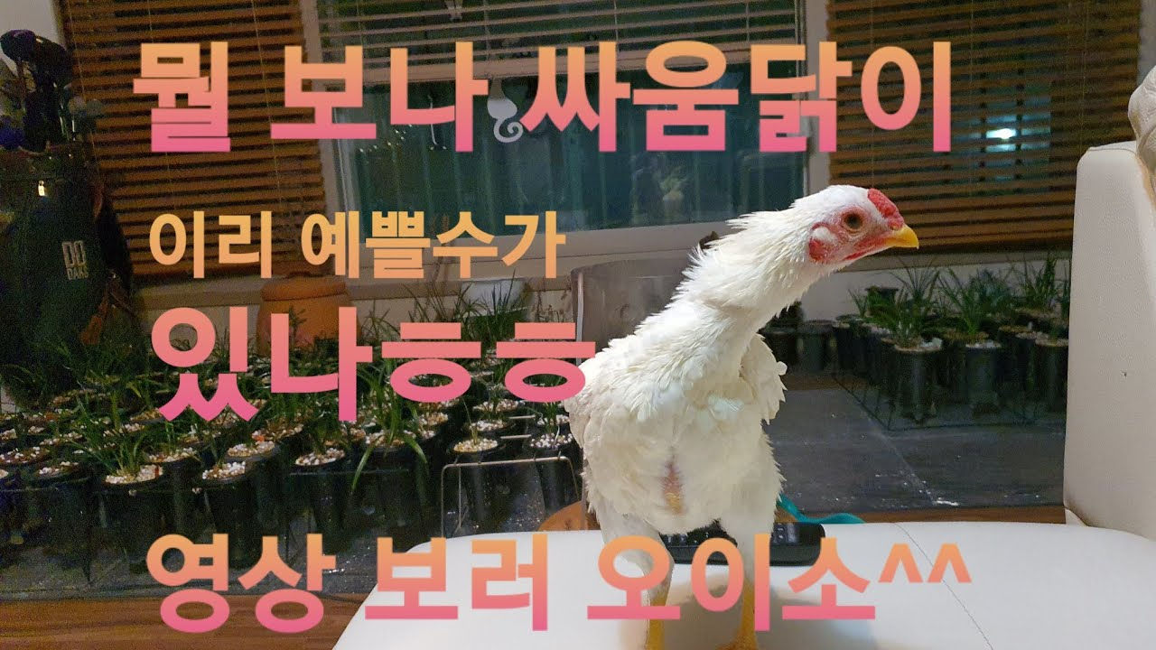 희귀한(싸움닭) 백색 고샤모 병아리 즐감하세요.^^