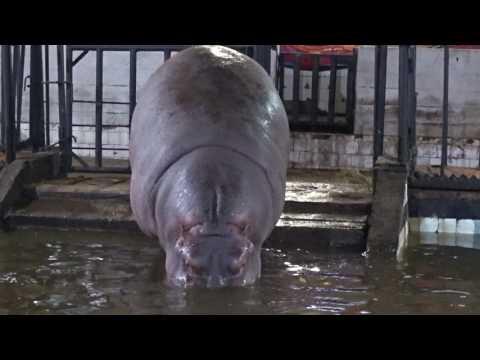 Калининградский зоопарк Бегемот Hippopotamus