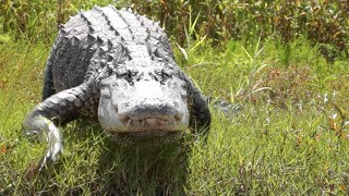 myakka river killer alligators