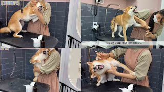 [Groomer Giraffe TV] Reason why Shiba's are not accepted at grooming salons