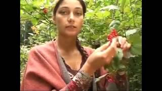 Калина красная ягода или калина обыкновенная