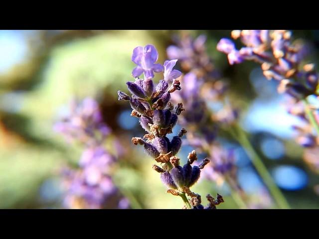 Macro Lavender Time-lapse / Levendula Nyár  Múló-idő-felgyorsítva