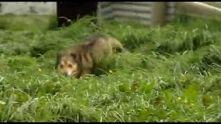 Dog Running Through Long Grass - Free Stock Footage
