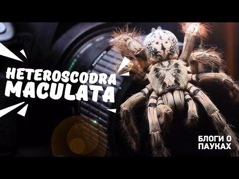 Болтовня о Heteroscodra maculata | убираемся в террариуме