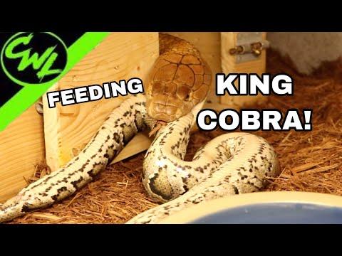 FEEDING MY 14FT KING COBRA A PYTHON!!!