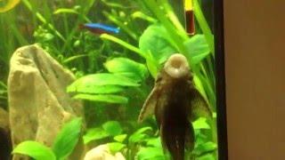 Сомик анциструс чистит стекло аквариума/Ancistrus cleans the aquarium glass