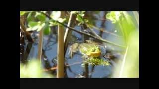 Gody żab zielonych