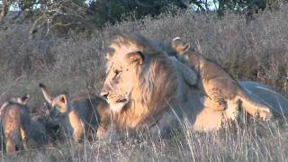 Male lion playing with cubs at Shamwari