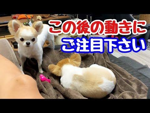 【チワワの魅力】抱きしめたくなる健気さが前面に滲み出る子犬チワワ