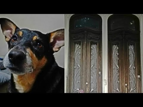 Max The Australian Kelpie Dog Goes for a Walk in Buenos Aires Argentina