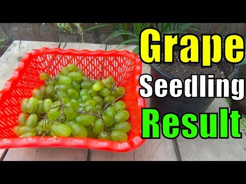 how to grow grapes from seeds youtube
