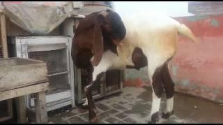 Irshad goat farm kolkata h