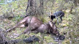 Sambar Stag Hunt With German Short Haired Pointer