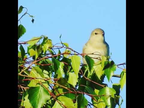 Havesanger/garden warbler