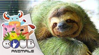 Смешные видео про животных #7 | COUB | Приколы с животными