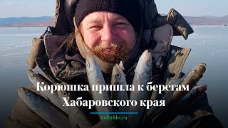 Корюшка пришла к берегам Хабаровского края зима 2021